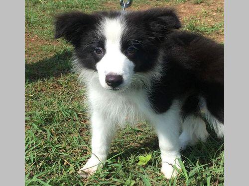 またしても「萌え~」な警察犬が登場 今度はボーダー・コリーの子犬