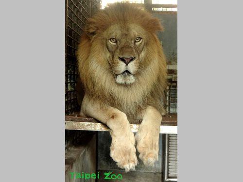 台北市立動物園のライオン、台風に備えて屋内へ ちょっと不満そう?