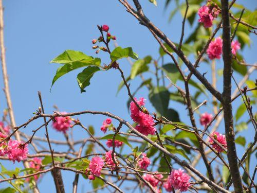 中部の景勝地で桜が開花