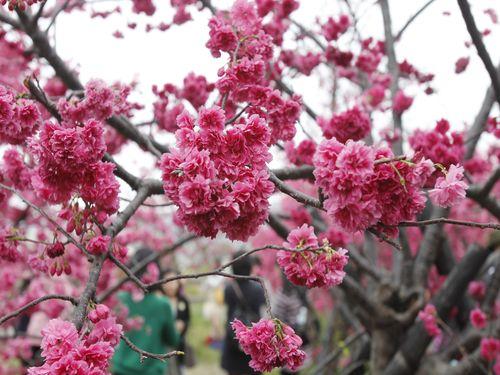 中部・台中市のお花見スポットで八重桜が満開