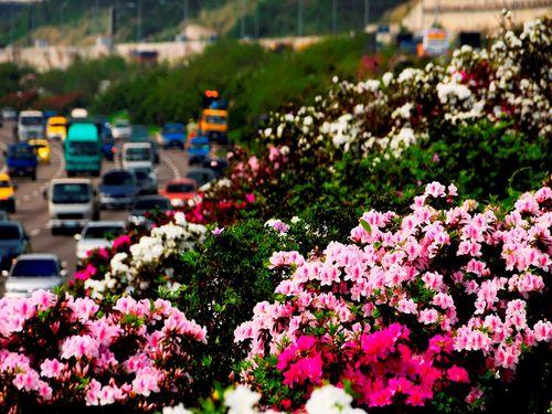 春めく台湾 高速道路の沿線やSA/PAも花盛り