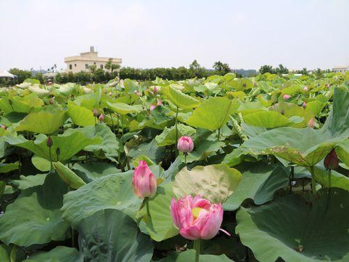 写真愛好家も魅了 約2000坪の池に咲き誇るハスの花
