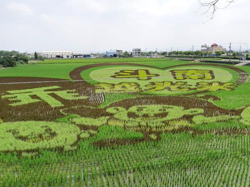 コシヒカリの産地、雲林県斗南で田んぼアートが見ごろ