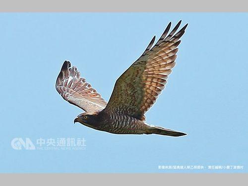 南部・恒春半島に飛来するサシバ、過去30年最多の5万9500羽に