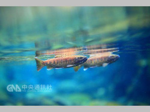 「国宝魚」タイワンマスを絶滅から救え かつての生息地に3000匹放流