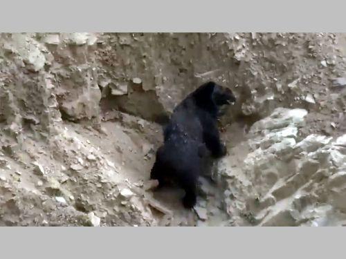 森林巡視員がタイワンツキノワグマと遭遇 映像を公開