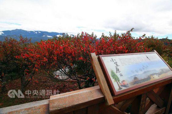 阿里山の紅葉が見ごろ 一面、真っ赤に