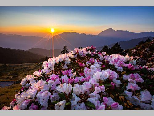 合歓山でツツジが満開 近年まれに見る見事な咲きっぷり