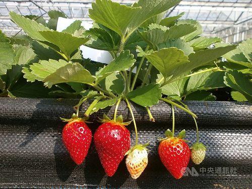 イチゴの新品種「恋香」、年内にも市場に