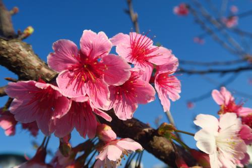 Cherry blossom viewing in Taipei's Neihu