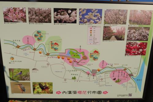 Cherry blossom viewing in Taipei's Neihu