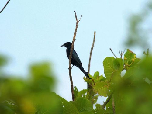 Hair-crested drongo. (Photo courtesy of the Construction and Planning Agency)