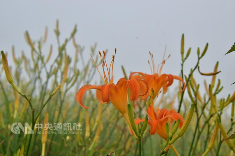 Late bloom of orange daylilies in Taitung