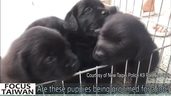 Why these puppies are being groomed for a job?