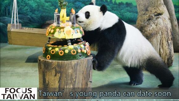 Taiwan's young panda can date soon
