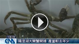 【影片】陽澄湖大閘蟹開吃了!挑選訣竅大揭密