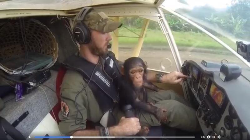 為剛果民主共和國維龍加國家公園服務的比利時飛行員卡艾瑞,將失去父母的黑猩猩穆沙護送到靈長類復健中心的影片引發網路瘋傳。(圖取自Anthony Caere臉書網頁facebook.com/anthony.caere.9)