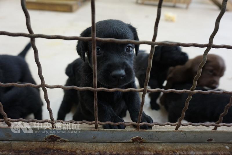 培訓專業緝毒犬相當艱難,狗兒8週大時會進到寄養家庭,接受社會化訓練。中央社記者趙麗妍攝 107年8月18日