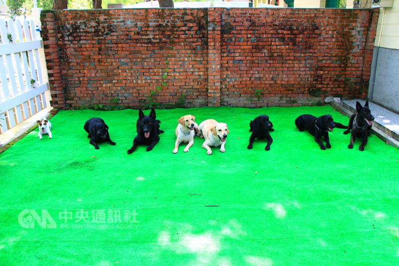 台中市搜救犬隊共有8隻搜救犬,品種包括拉不拉多、混種狼犬與傑克羅素犬,其中4隻搜救犬已取得瓦礫、原野搜救等相關證照,隨時處於待命狀態,能參與國內救助或國際救災,另4隻處於訓練狀態,以路徑追蹤專長方向發展。中央社記者蘇木春攝 107年8月18日