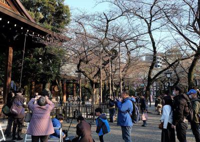 東京櫻花正式開花 比往年提早9天