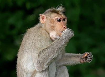 不只人和猩猩聰明 牠也用工具解決問題