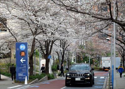 日本東京櫻花盛開 較往年提早10天
