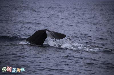 端午连假 台东旅客少3成花莲喜见抹香鲸