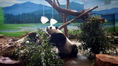 庆端午 大猫熊圆仔吃冰粽