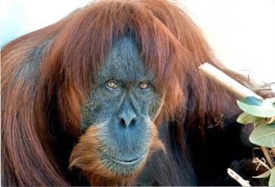 全球最老紅毛猩猩辭世 復育54隻後代遍布各地