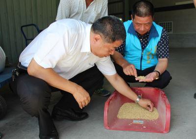 雨後放晴稻農忙收割 中興米協助收購台東濕穀