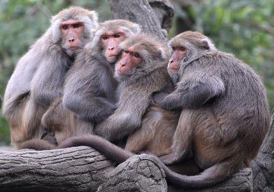 族群趨勢上升 台灣獼猴降為一般類野生動物