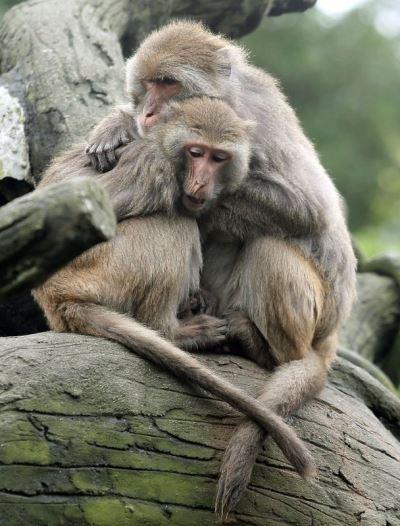 台灣獼猴保育降級  仍不得任意騷擾及獵捕