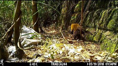 花蓮大農大富園區 首次記錄到保育類黃喉貂