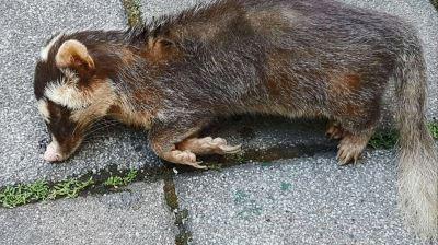 狂犬病鼬獾連續咬傷人 花蓮10鄉鎮提高警覺