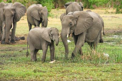 大象罹癌致死率低 可能和殭屍基因有關