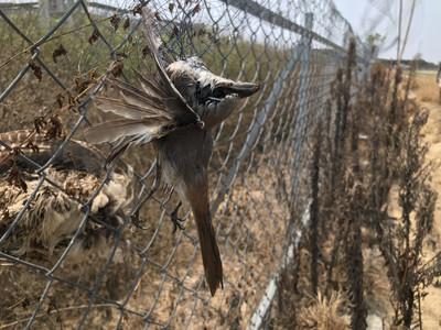 架鳥網護農作物  保育類環頸雉成網下亡魂