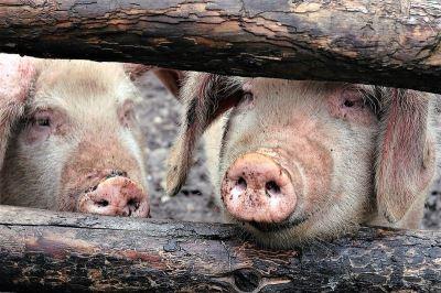 中國非洲豬瘟疫情 擴大至江蘇
