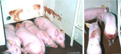非洲豬瘟肆虐中國  蔓延狀況一次看懂