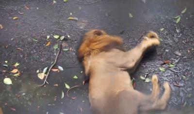 網友拍到菲律賓動物園獅子痙攣 引發善待呼聲[影]