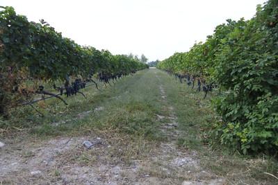 寧夏10年打造葡萄酒業  大學生夢想成為釀酒師