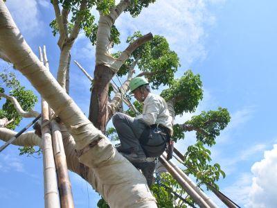 樹藝師與樹木醫 歐美日本保育樹木有專業