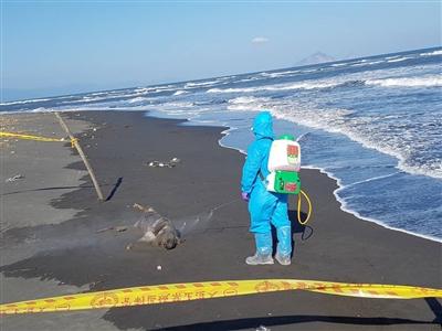 宜蘭海邊發現豬屍 初判排除與非洲豬瘟有關