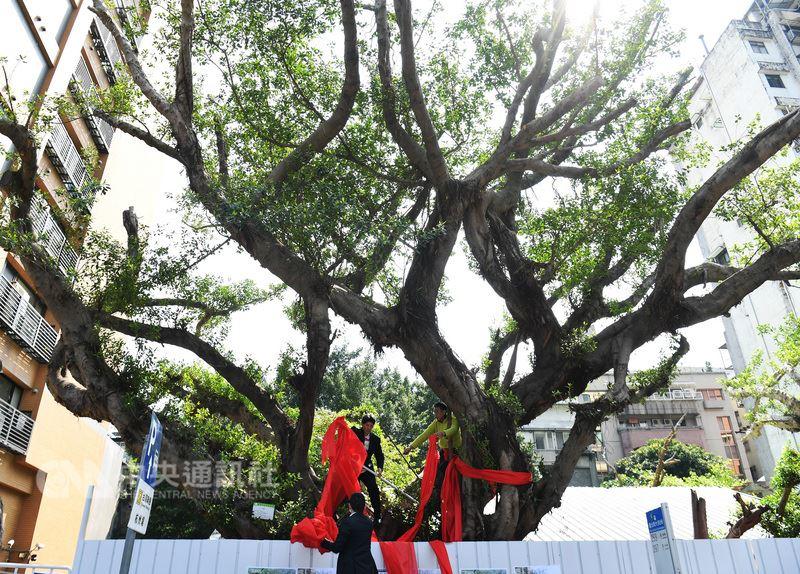 護樹團體12日在台北市杭州南路一段一棵因都更案被迫移植的百年老榕樹前高喊口號,要求百年老樹原地保留,並替老樹及杭州南路、濟南路口一帶的老樹群綁上紅絲帶,表達護樹決心。中央社記者施宗暉攝 107年3月12日