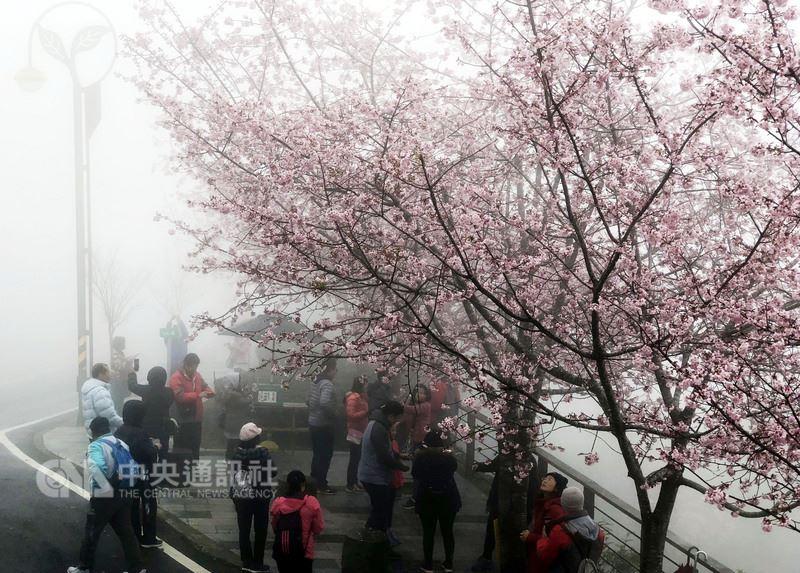 阿里山花季將於15日登場,阿里山公路(台18線)沿途花卉爭奇鬥豔,為花季暖身,尤其是公路54.4公里處的吉野櫻盛開,不少民眾上午在霧裡賞櫻,別有一番意境。 中央社記者黃國芳攝 107年3月12日