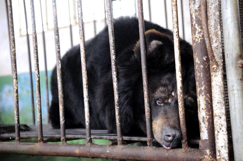 中國大陸養熊取膽汁一事向來受到國際詬病。(檔案照片/中新社提供)