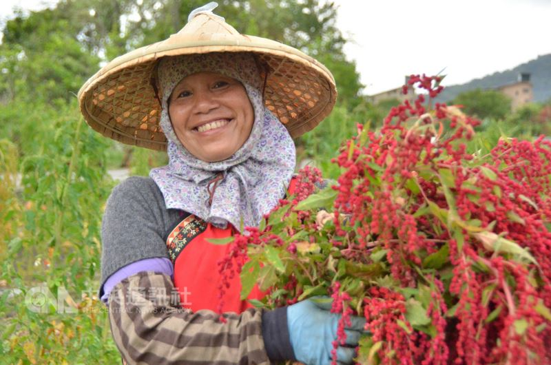 吉安鄉農友徐妍花說,紅藜耐旱也耐雨,一年四季都適合種植,平均3個月可收成。中央社記者李先鳳攝  107年3月13日