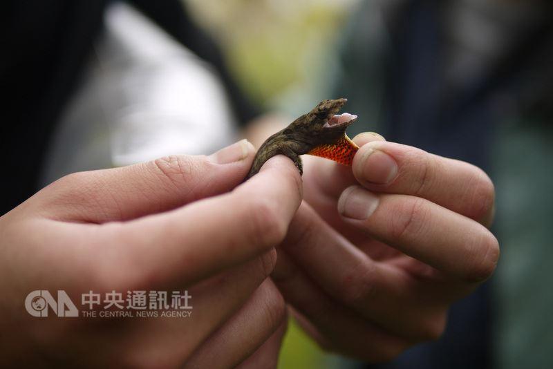 外來入侵種的沙氏變色蜥,是造成生物多樣性喪失主要原因之一,原產於古巴,體長約15至20公分。體色為褐色或灰色,並會隨著環境與行為改變體色至黑色或灰白色,雄雌蜥皆具有黃色或橘紅色的喉囊。(花蓮林管處提供)中央社記者李先鳳傳真  107年3月14日