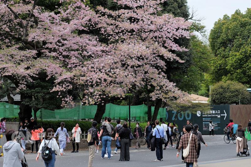 日本民間氣象公司預測,2018年櫻花開花時間會比原先預估來得早,東京都心的櫻花最快可能18日就會開花,大約在25日滿開。圖為2017年東京上野公園內的櫻花。中央社記者黃名璽東京攝 107年3月14日
