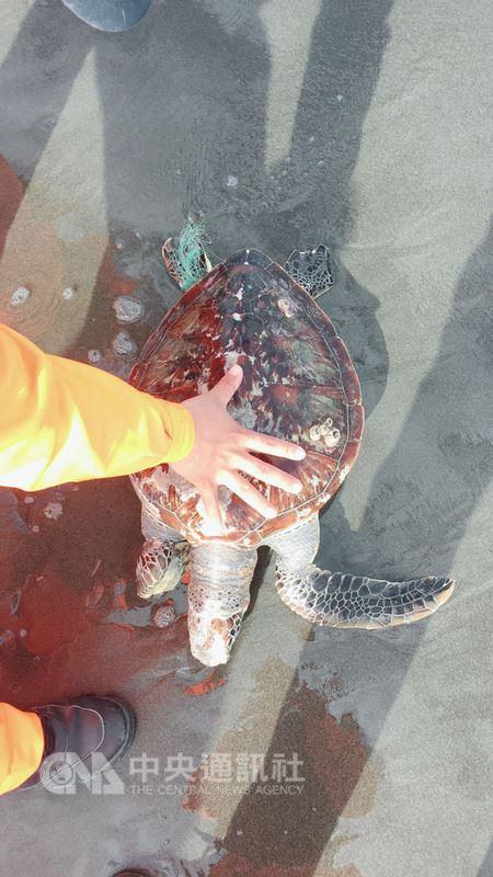 屏東國立海洋生物博物館獸醫李宗賢19日表示,根據海生館及台灣海洋大學所建立的海龜通報救傷系統資料,去年台灣海龜擱淺通報共210件。圖為一隻擱淺海龜後腳還纏著魚線。(李宗賢提供)中央社記者郭芷瑄傳真 107年3月19日