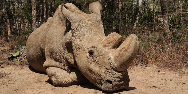 世上最後一頭雄性北白犀在肯亞以安樂死結束生命,享年45歲。(圖取自奧佩傑塔自然保護區網頁www.olpejetaconservancy.org)